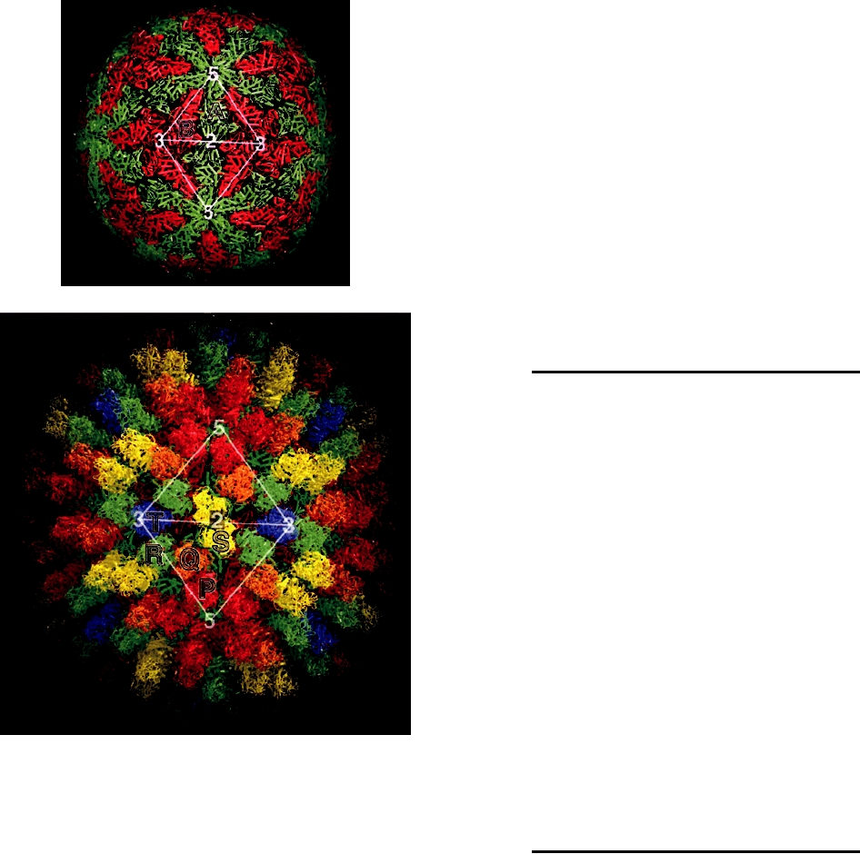 Enveloped Helical Virus