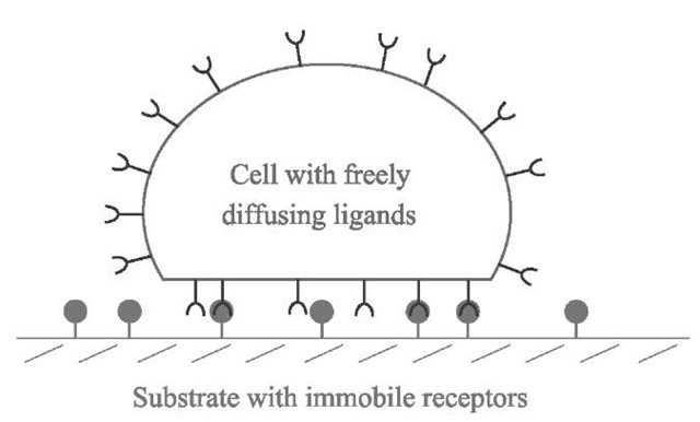 Schematic view of the model of a cell adhering to a substrate: the cell is a capsule containing freely diffusing sites, ligands, on its membrane. These sites can bind to complementary sites, receptors, on the substrate, where they are immobile.