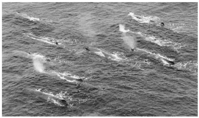 A group of whales swimming off Tomiura, Japan.