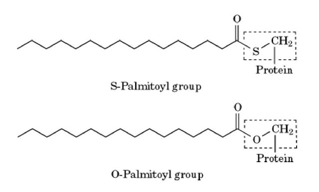 Modification of a cysteine or serine residue by a palmitoyl group. An internal cysteine residue in the protein is thioester-linked to the 16-carbon saturated fatty acid, palmitic acid to give an S-palmitoyl group. Palmitic acid can also be ester-linked to serine (or threonine) residues to given an O-palmitoyl group. The cysteine and serine residue in each figure is indicated by a dotted line.