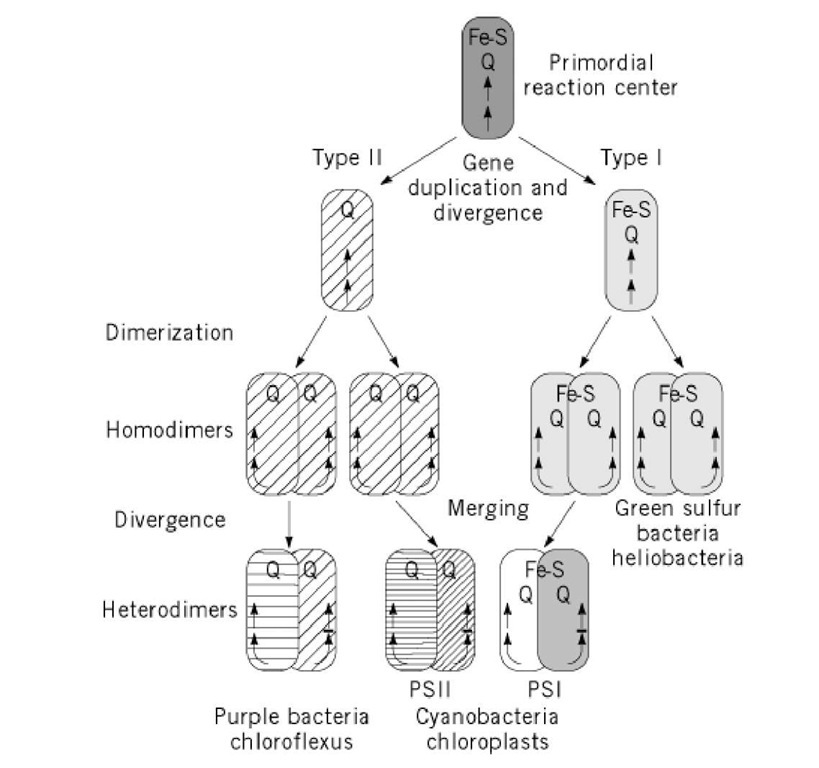 Photosynthesis part 1 molecular biology evolution of photosynthetic reaction centers a primordial reaction center containing both quinones and fes centers publicscrutiny Gallery