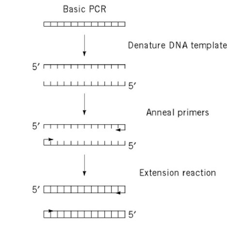 Polymerase chain reaction molecular biology for Pcr template amount