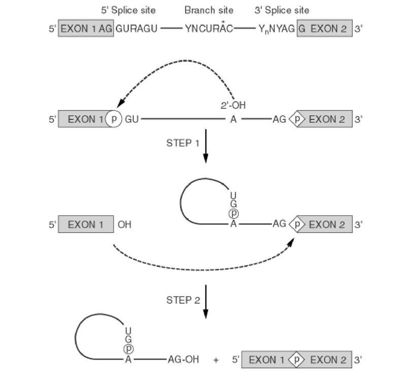 RNA Splicing (Molecular Biology