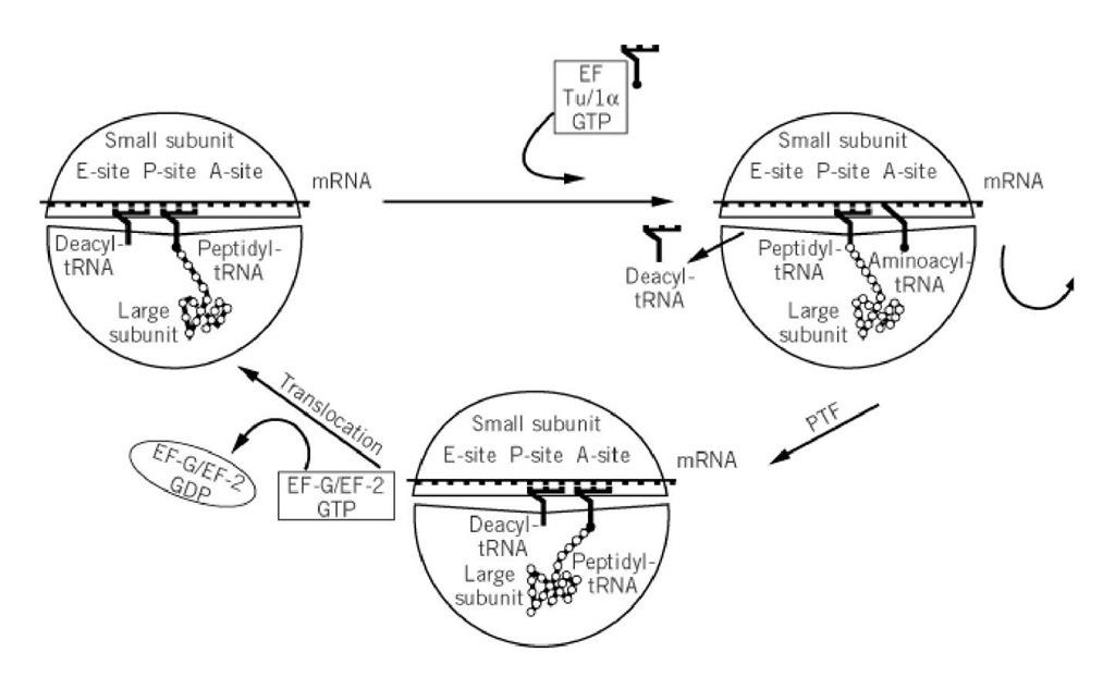 ribosomes  molecular biology