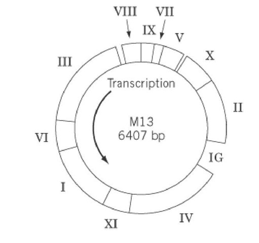 The genome of wild-type bacteriophage M13. The approximate locations of the genes are indicated by Roman numerals.