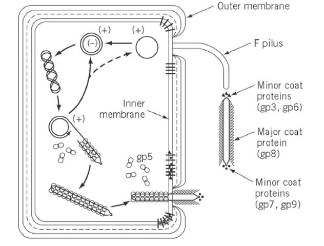 Schematic illustration of some features of the reproductive life cycle of bacteriophage M13.