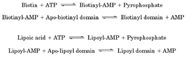 Reactions catalyzed by biotinyl and lipoyl protein ligases.