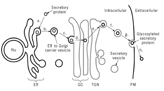 The eukaryotic secretory pathway. Secretory proteins enter the membrane trafficking system by (a) translocation from the cytoplasm into the endoplasmic reticulum (ER) (b) In the ER, proteins are packaged into ER to Golgi complex (GC) carrier vesicles that (c) deliver proteins to the GC. As proteins progress through the GC they become (d) glycosylated. Once the (e) reach the /rans-Golgi network (TGN), they (f) are sorted into secretory vesicles in which proteins are (g) transported to the plasma membrane (PM). At the cell surface secretory proteins are (h) released into the extracellular environment.