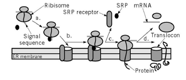 Translocation across the ER membrane. (a) Signal recognition particle (SRP) binds to a signal sequence on a nascent protein and halts the protein's synthesis by the ribosome. (b) SRP brings the protein and ribosome to the translocon on the ER membrane by binding to its receptor. (c) Protein synthesis restarts when the ribosome is correctly positioned and the protein has been threaded into the translocon. (d) Proteins can either be translocated completely into the lumen of the ER to become secretory proteins or translocated partially through the membrane to become integral membrane proteins.