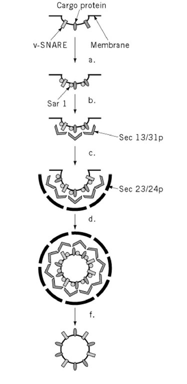 Formation of ER to GC carrier vesicles. ER to GC carrier vesicles are formed with the COPII coat (Sar1, Sec 13/31p, and Sec 23/24p). Components are thought to bind sequentially with (a) the GTPase Sar1 (in its GTP state), binding to v-SNARE and cargo molecules. (b) Sec 13/31p binds to Sar1 and then (c) Sec 23/24p binds to the whole complex. By unknown mechanisms the COPII coat (d) causes a vesicle to bud off from the ER membrane, and (e) uncoating leads to the (f) mature carrier vesicle, which can then go on to fuse with the Golgi complex. Formation of other types of vesicles is likely to involve similar steps using different coating proteins.