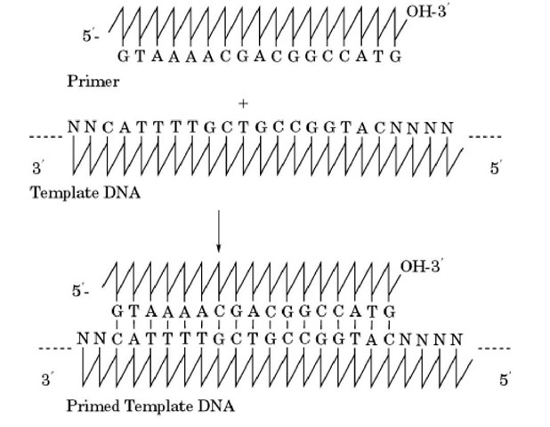 Annealing of primer to template DNA.