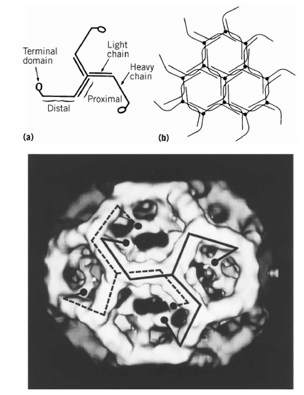 (a) Schematic drawing showing the modular structure of the triskelion. (b) Packing diagram showing how triskelions (lacking terminal domains for simplicity) form a hexagonal lattice. (c) Three-dimensional map of a clathrin cage containing 12 pentagons and 8 hexagons, computed from electron micrographs of unstained specimens embedded in vitreous ice. Each triskelion leg runs from one vertex along two neighboring polygonal edges and then turns inward. Its terminal domain forms the inner shell of density.