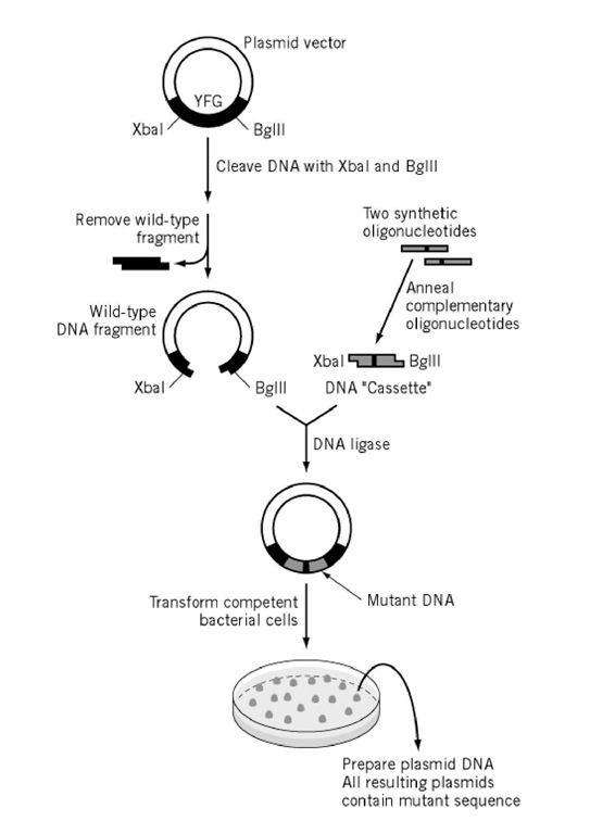 Site Directed Mutagenesis Part 1 Molecular Biology