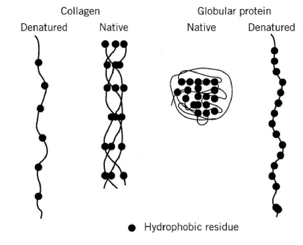 Hydrophobic residues in collagen polypeptide chains. The content of hydrophobic residues in collagenous do (indicated as filled circles) is relatively low compared to the globular proteins. However, they projected to the surface o triple helix, while the globular protein keeps most of the hydrophobic residues inside.