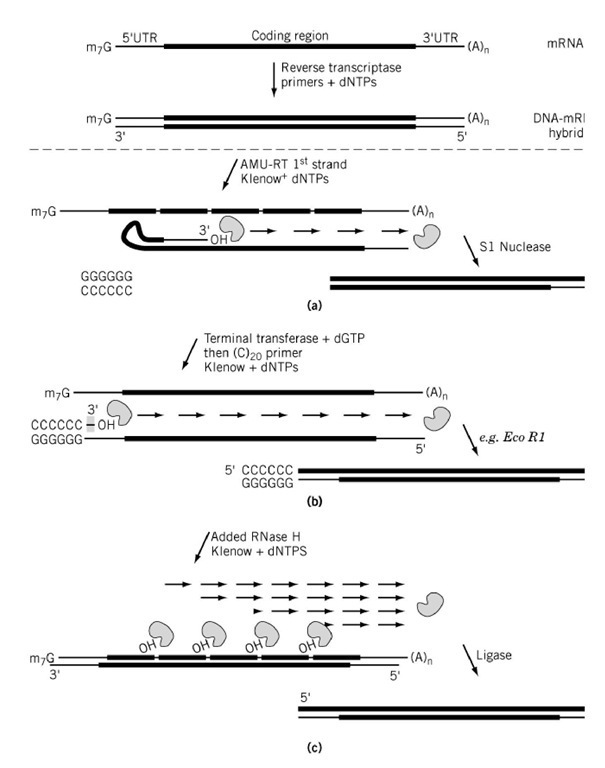 Complementary dna cdna part 2 molecular biology three separate schemes of second strand cdna synthesis from the dna mrna hybrid maxwellsz