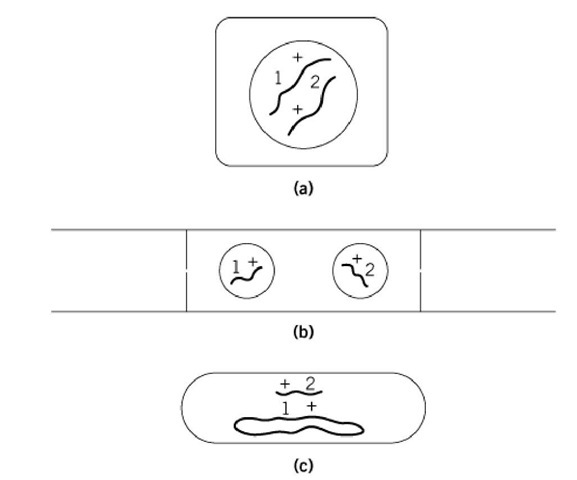 Three general ways of making complementation tests: (a) by diploidy (higher plants, animals and the budding yeast Saccharomyces cerevisiae); (b) by heterokaryosis (fungi, such as Neurospora crassa and sometimes cultured mammalian cells); (c) by addition of a genomic fragment to a haploid genome (bacteria, such as Escherichia coli and Salmonella typhimurium). In each diagram, 1 and 2 are different mutations, and + stands for the corresponding nonmutated sites.