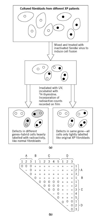 The use of heterokaryosis for complementation testing of cultured cells from human Xeroderma Pigmentosum (XP) patients (5). The syndrome that is excessive sensitivity to uv light is a consequence of failure to repair damaged DNA by excision followed by new synthesis. (a) Cultured fibroblasts from different patients were mixed and induced to undergo fusions. The resulting cells, some now heterokaryotic, were irradiated and cultured in the presence of tritiated thymidine to see whether they responded to the DNA damage by incorporating this radioactive DNA precursor into their nuclei. The original XP mutant cells, or noncomplemented heterokaryons, incorporated no tritium, but certain pairs of mutant cells showed complementation. (b) The complementation matrix with the division of 12 XP mutations into four complementation groups A-D. Here the cells are diploid and homozygous for the different mutations instead of haploid as in the Neurospora example (Fig. 3), but the principle is the same. +, complementation; 0, no complementation; -, test not done.