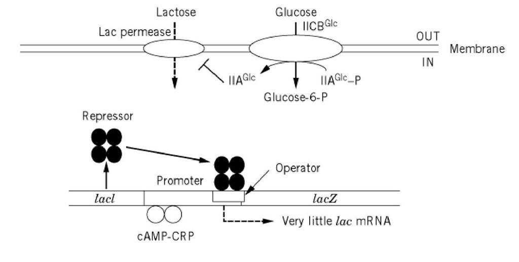 Catabolite Repression Molecular Biology