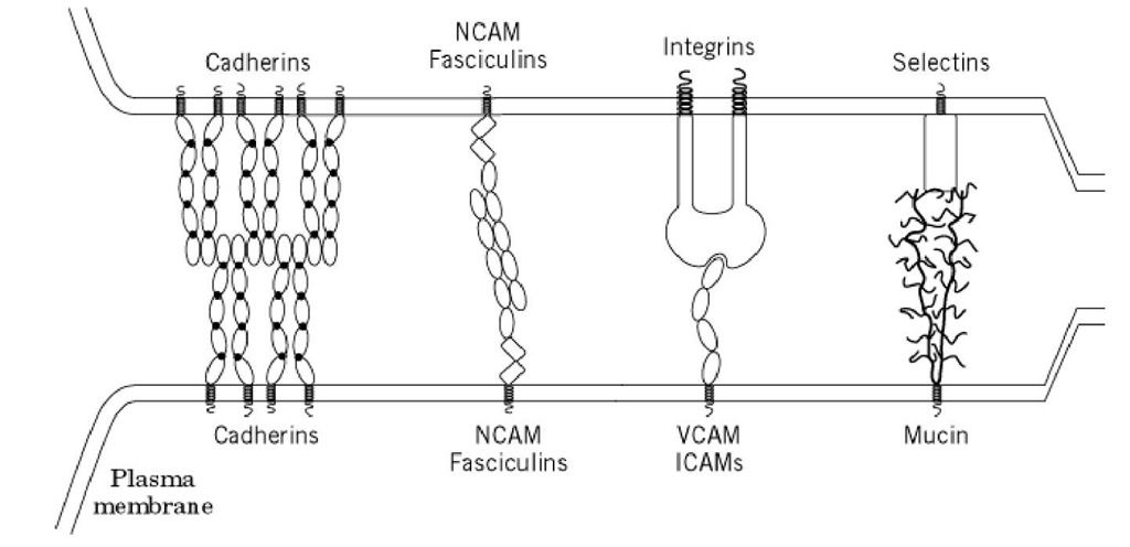 Cell Adhesion Molecules Part 1