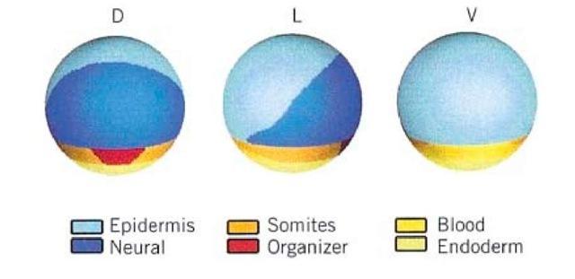 Xenopus Part 1 (Molecular Biology)