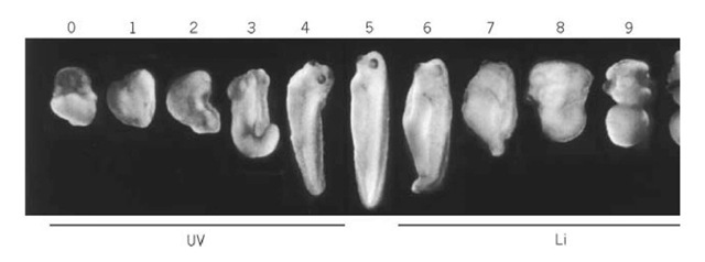 Experimentally perturbed Xenopus embryos. Varying amounts of exposure to UV irradiation during the first c< generates embryos that are gradually ventroposteriorized (left panels), while treatment with LiCl for varying times produ that are dorsoanteriorized. This range of phenotypes represents the dorsoanterior index (DAI) (46) indicated by the numb each embryo. In this scale, the normal embryo has a dAi of 5 (in the middle), numbers below 5 represent ventralized ph< numbers above 5 dorsalized embryos. At the extremes, an embryo with a DAI of 0 entirely lacks head and dorsal axial st while an embryo with a DAI of 10 contains only radially symmetrical head structures.