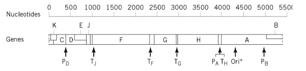 Linear version of the fX174 circular genetic map. The locations of promoters (P), transcription terminations sites (T), and the origin of replication (or/'+)) are shown.