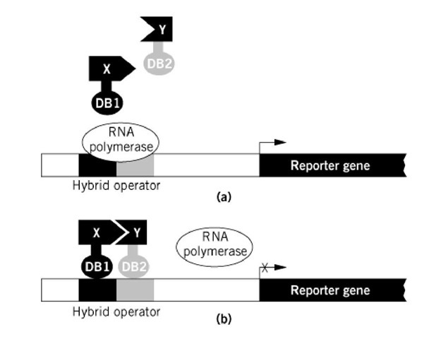 Principle Of A Bacterial Two Hybrid Ay Based On Transcriptional Repression