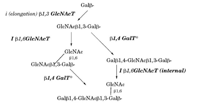 Elongation pathways forming the backbone of O-glycans.