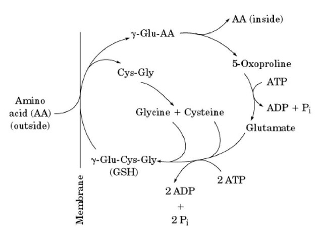 The g-glutamyl cycle for transporting amino acids, coupled to the degradation of glutathione (GSH; g-Glu-Cys-Gly). The amino acid (AA) on the outside of the cell (left) is coupled to glutamic acid of GSH by the membrane protein g-glutamyl transpeptidase, by replacing the dipeptide cysteinyl-glycine (Cys-Gly). The amino acid is released from the g-glutamyl residue, converting it to 5-oxoproline. The concomitant degradation of GSH is the driving force for transporting the amino acid. Resynthesizing 1 mol of GSH requires the hydrolysis of 3 moles of ATP.