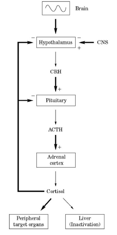 glucocorticoids (molecular biology), Skeleton