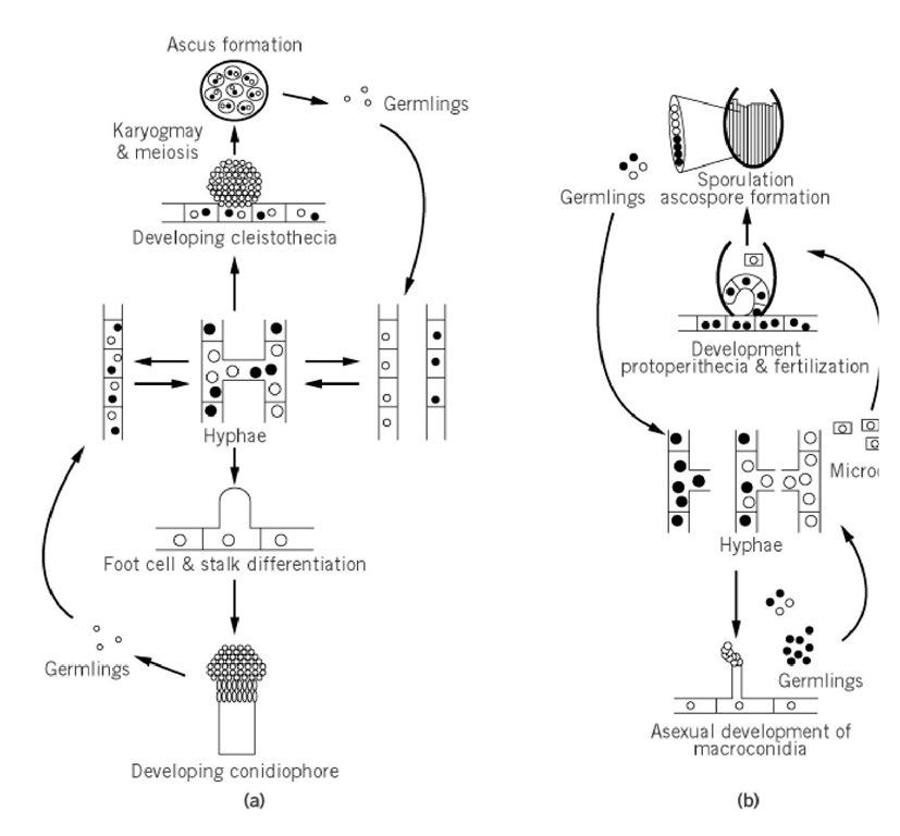 Asexually reproducing conidiophores