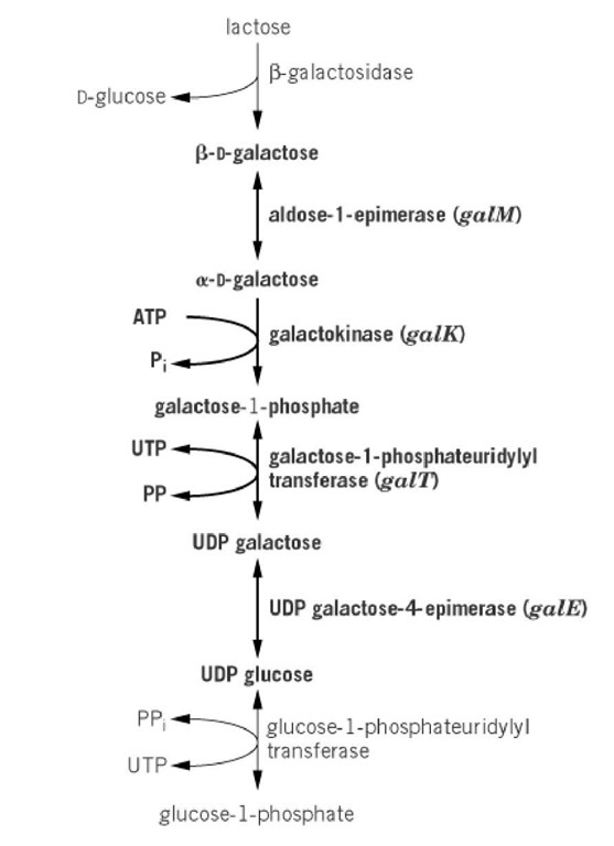 The Leloir pathway of D-galactose metabolism. As shown, D-galactose is generated intracellularly by hydrolysis of the disaccharide lactose. The parts of the pathway catalyzed by enzymes of the gal operon are shown in bold. They are encoded by the genes shown within the parenthesis in italics.