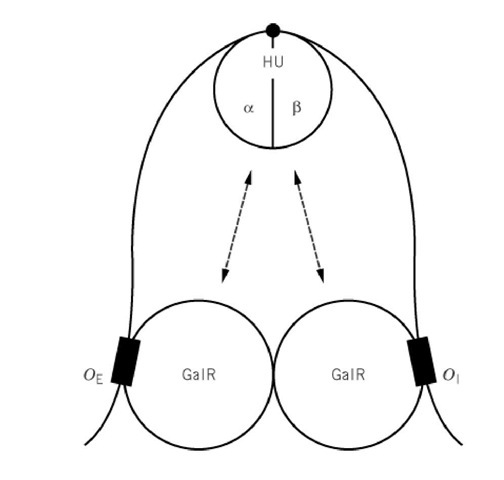The DNA looping of the gal promoter by binding of the GalR regulator and HU corepressor. The details of binding of the two proteins are discussed in the text.