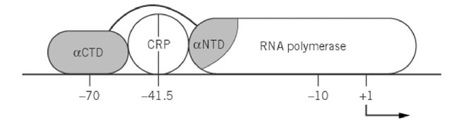 Activation of P1 by cAMP'CRP by two different contacts with RNA polymerase. The two domains aNTD and aCTD of the RNA polymerase a subunit are shown shaded. Details are discussed in the text.