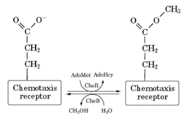 Methylation reactions on glutamate residues within the chemotaxis receptors in bacteria. The methylation reaction is catalyzed by CheR, and demethylation by CheB. Upon loss of its methyl group, the S-adenyosyl methionine (AdoMet) is converted to S-adenosyl homocysteine (AdoHcy).