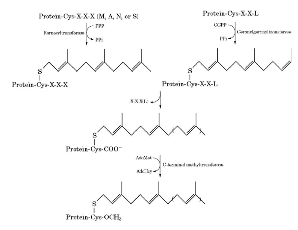 Reactions involved in the process of C-terminal methylation of cysteine residues in eukaryotic cells. The C-ter the target protein are shown at the top in the one-letter code. FPP is farnesyl diphosphate, and GGPP is geranylgeranyl d transfer to the protein releases pyrophosphate (PP;). The methyl donor is S-adenosylmethionine (AdoMet), which is relet adenosylhomocysteine (AdoHcy).