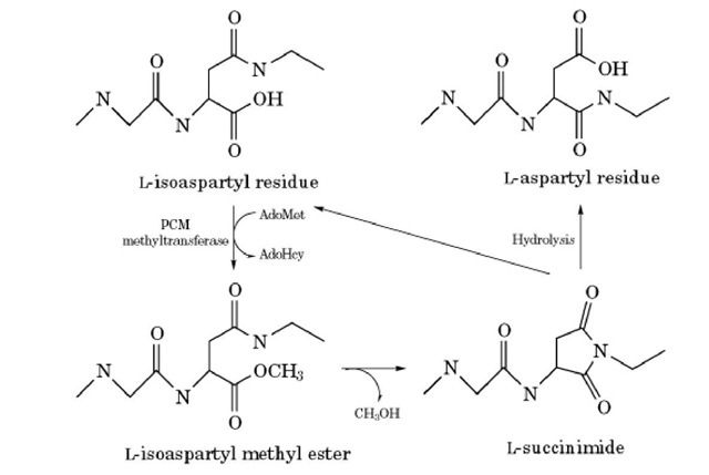 Isomerization of an aspartate residue and its reversal using methylation. The succinimide intermediate can be generated by deamidation of an asparagine residue.
