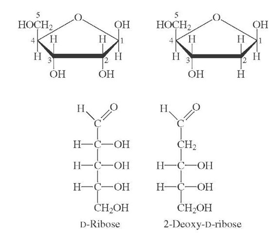 Structures of D-ribose (left) and 2-deoxy-D-ribose (right).
