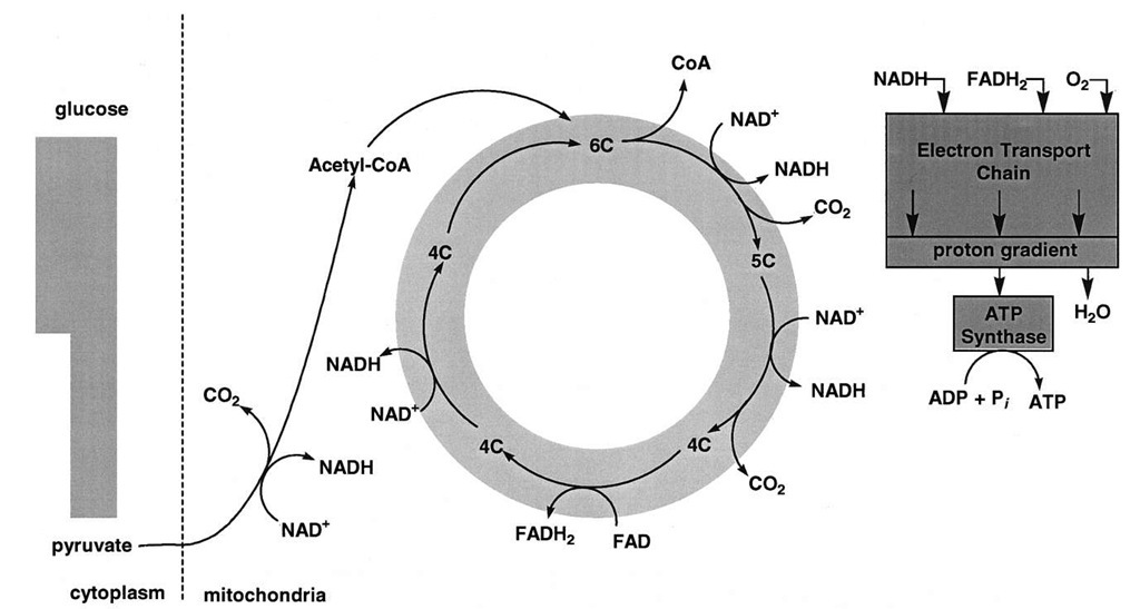 A view of the oxidation of pyruvate. The oxidation of pyruvate generates three CO2, four NADH, and one FADH2. The oxidation of NADH and FADH2 by the mitochondrial electron transport chain is exergonic and provides most of the energy for ATP synthesis.