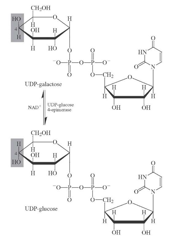 Biosynthesis of D-galactose by epimerization of uridi-ine diphosphoglucose.