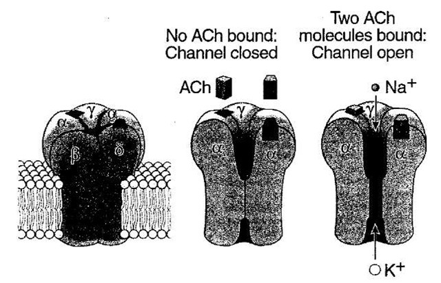 Three-dimensional model of the nicotinic acetyl-choline-gated ion channel. The structure is based on a three-dimensional reconstruction of electron microscope images by Un-win and his colleagues. The receptor-channel complex consists of five subunits, all of which contribute to forming the pore. When two molecules of acetylcholine bind to portions of the a-subunits exposed to the membrane surface, the receptor-channel changes conformation. This opens a pore in the portion of the channel embedded in the lipid bilayer, and both K+ and Na+ flow through the open channel down their electrochemical gradients.