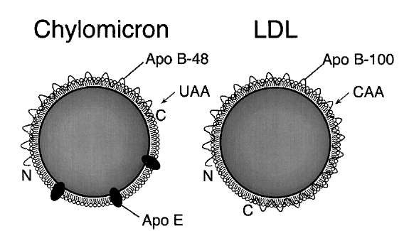 Chylomicrons contain a different form of apoB than VLDL or LDL. In the intestine, an RNA editing event introduces a stop codon in apo-B, resulting in a truncated protein product, apo-B48. VLDL is secreted with full-length apoB, apo-B100, and thus gives rise to LDL particles with apo-B100. The receptor-binding domain of apoB is at the C-terminal half of the protein, thus apo-B48 cannot bind to the LDL receptor; chylomicrons depend upon apo-E for receptor binding. Note: the particles are not drawn to scale; chylomicrons are about five times larger than LDL particles.
