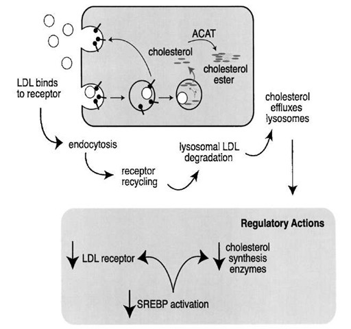 The LDL receptor pathway. LDL is internalized via receptor-mediated endocytosis. The endosomes are a sorting compartment; the receptor recycles to the plasma membrane, while the LDL is delivered to the lysosomes, where the cholesterol esters are hydrolyzed by lysosomal lipases. The free cholesterol then exits the lysosome and is able to inhibit de novo cholesterol synthesis by reducing the abundance of several cholesterol biosynthetic enzymes (e.g., HMG-CoA reductase) and the LDL receptor. Cells protect themselves from cholesterol toxicity by re-esterifying cholesterol to form a cytoplasmic cholesterol ester droplet.