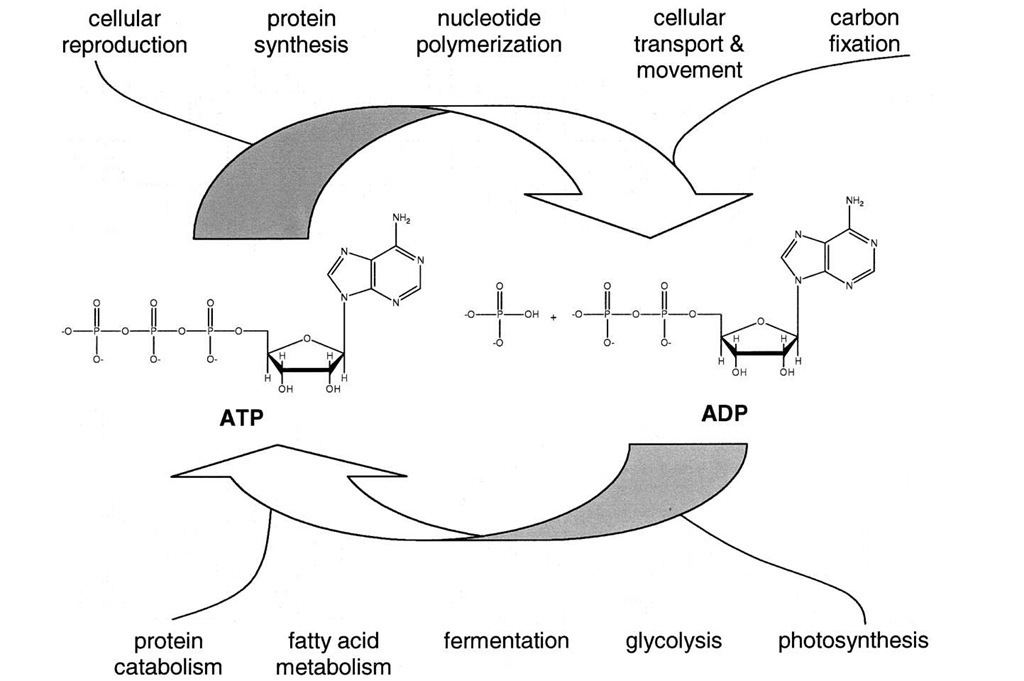 Central role of adenosine 5r-triphosphate (ATP) in metabolism. Catabolic (degradative) metabolism is exergonic and provides the energy needed for the synthesis of ATP from adenosine 5r-diphosphate (ADP) and inorganic phosphate (Pi). The exergonic hydrolysis of ATP in turn powers the endergonic processes of organisms.