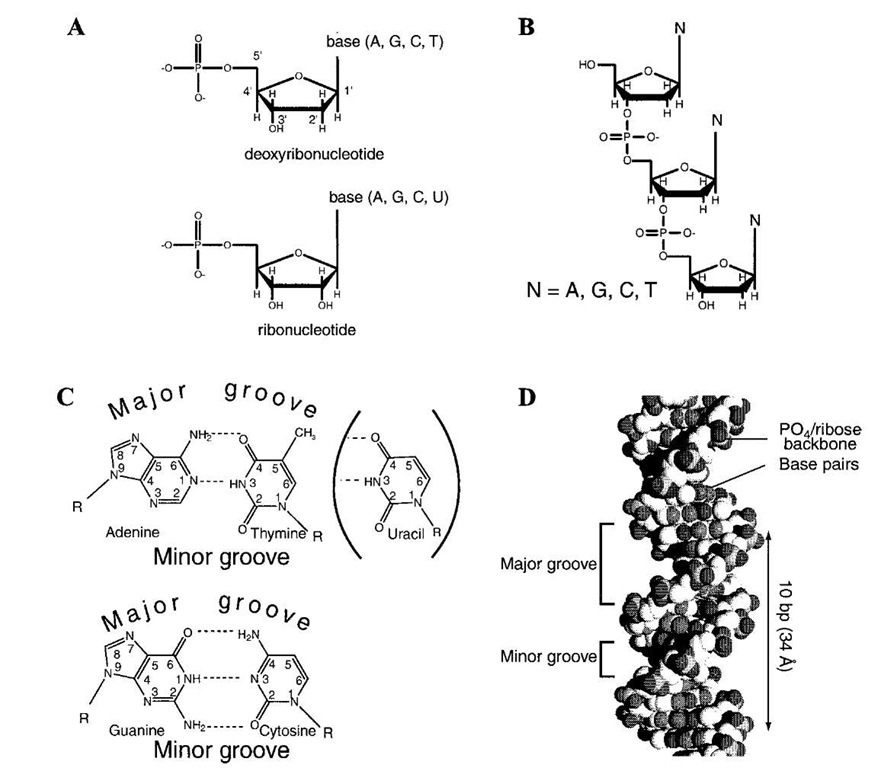 Structure and function of nucleic acids structure of dna and rna a structure of deoxyribonucleotides and ribonucleotides and ccuart Image collections