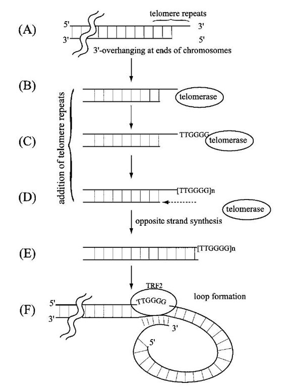 A schematic description of the role of telomerase in the maintenance of telomeres at chromosome termini. The double lines with break represent one telomere terminus of a chromosome in which the 5' terminal region of the lagging strand is unreplicated (as in Fig. 4), resulting in an overhanging 3' terminal region. In order to avoid shortening of this telomere sequence during successive rounds of replication, DNA template-independent telomerase extends the 3' overhang by adding the telomere repeat sequence TTGGGG as shown in (C). The template for the repeat is an RNA present in the telomerase complex. The extended 3' single-strand region then allows de novo initiation and filling in of the 5' strand (E). Finally, the 3' overhang loops to anneal with an internal sequence mediated by the telomere repeat factor (TRF2) in order to protect the terminus from degradation by nonspecific nucleases (F).