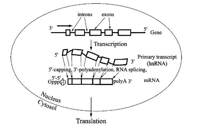 "A schematic representation of RNA splicing. The coding sequence in metazoan genomes is usually present in segments (exons; indicated by boxes) interspersed between noncod-ing introns. After synthesis of the primary RNA transcript (called heterogeneous nuclear RNA or hnRNA), the intron sequences are removed by precise cleavage and rejoining is mediated by the spliceosome complex, so that the resulting mature mRNA contains a correctly juxtaposed coding sequence for the polypeptide. The mRNA is also ""capped"" by 5'-5' linkage with GMP, and a tail of poly(A) is added at the 3' terminus to increase the stability of mRNA and to enhance its efficiency in directing protein synthesis when the mRNA is transported from the nucleus to the cytoplasm."