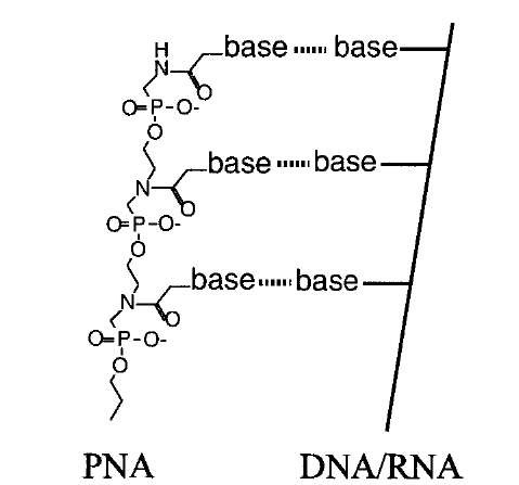Structure of peptide nucleic acid (PNA). An artificial oligomer produced by chemical synthesis retains the ability to pair with bases, but is resistant to degradation by nucleases because its backbone does not contain the normal phosphodiester linkage.