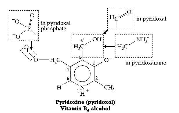 The vitamin B6 (pyridoxine) family: pyridoxol, pyri-doxal, pyridoxamine, and the coenzyme forms pyridoxal and pyri-doxamine phosphates.