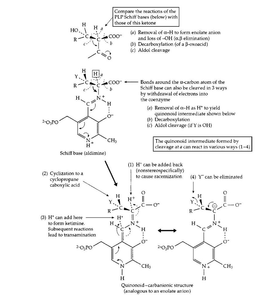 The action of pyridoxal phosphate in initiating catalysis of numerous reactions of a-amino acids. Completion of the various reactions requires a large variety of different enzyme proteins.